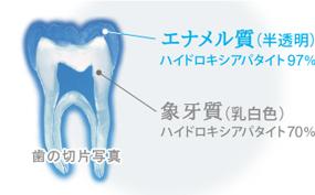 歯の切片写真